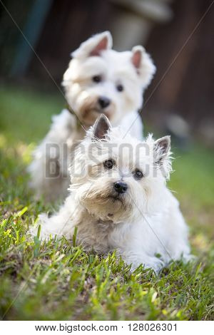 Two white canine friends paying attention to their owner