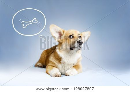 welsh corgie puppy dreaming of the bone on blue background