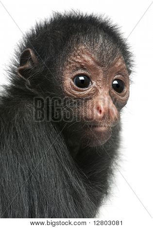 Close-up of Red-faced Spider Monkey, Ateles paniscus, 3 months old, in front of white background