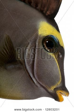 Close-up of Orangespine unicornfish, Naso lituratus, in front of white background