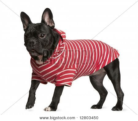 French Bulldog in red and white striped shirt, 2 years old, standing in front of white background