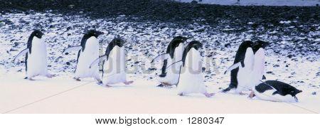 Adelie Penguins Waddling