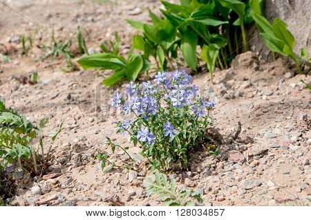 Small blue flowers in dry soil of garden, florets in early spring in backyard