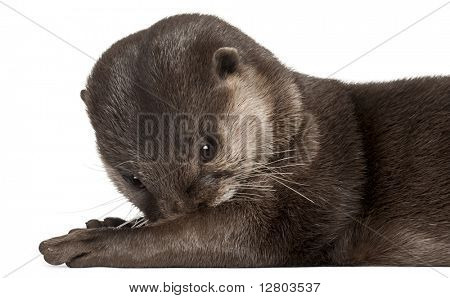 Close-up of Oriental small-clawed otter, Amblonyx Cinereus, 5 years old, lying in front of white background