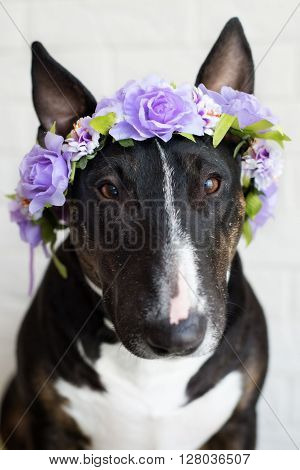 adorable english bull terrier dog in a flower crown