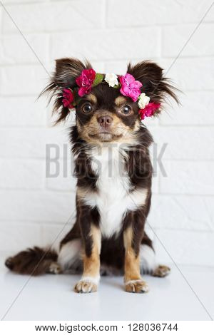 adorable brown chihuahua dog in a flower crown