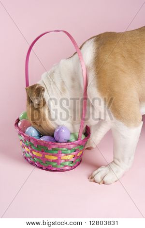 English bulldog with his face buried in Easter basket on pink background.