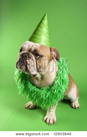 English bulldog with serious expression wearing lei and party hat and sitting on green background.