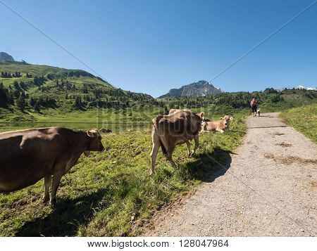 A view of rushing cows in the Alpine mountains near village Shocken in Bregenzerwald area region Vorarlberg Austria