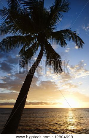 Sunset sky framed by palm tree over the Pacific Ocean in Kihei, Maui, Hawaii, USA.
