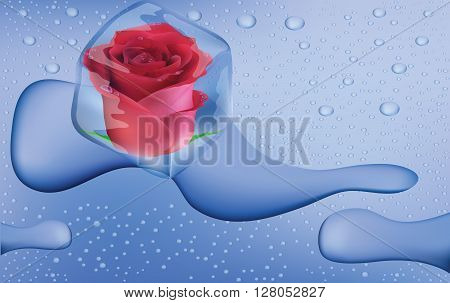 Frozen rose in an ice cube, water drops with ice cube