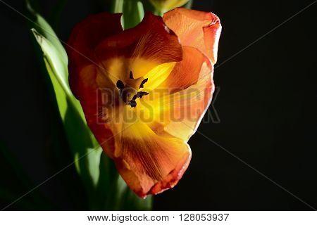 blown red tulip on a dark background