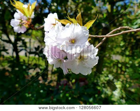 Pink Flowering Cherry Blossoms In Garden, Flower Close Up