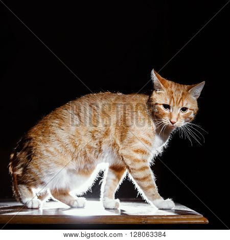 Ginger kitten, orange tabby cat, side view