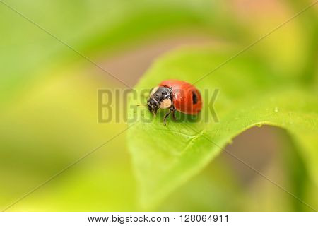 Ladybug on a green leaf in the grass, close-up ladybug. Ladybug with water drops.