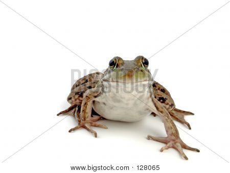 Wood Frog 2