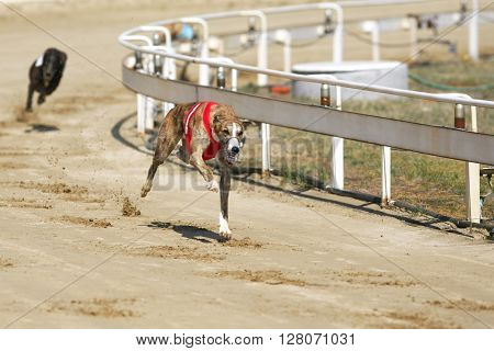 Greyhound Dogs Racing At Dog Race Court