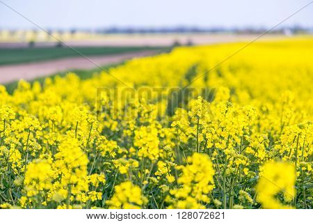 Young Yellow Colza Field
