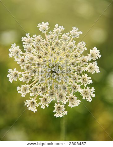 Selective focus close-up of wild carrot flower growing in Tuscany, Italy.