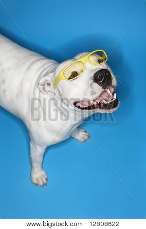 Perro Pit Bull de blanco sobre fondo azul.