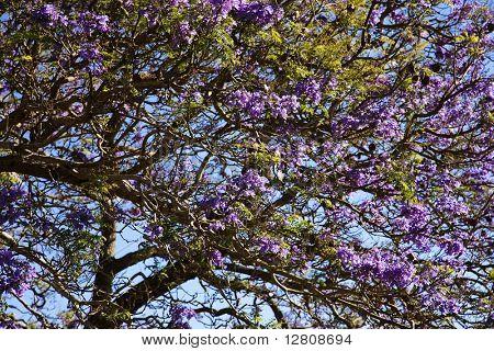 Close-up of Jacaranda Tree blooming with purple flowers in Maui, Hawaii.