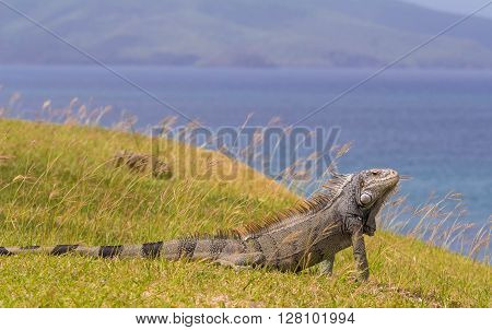 The green Iguana of Martinique island french West Indies.