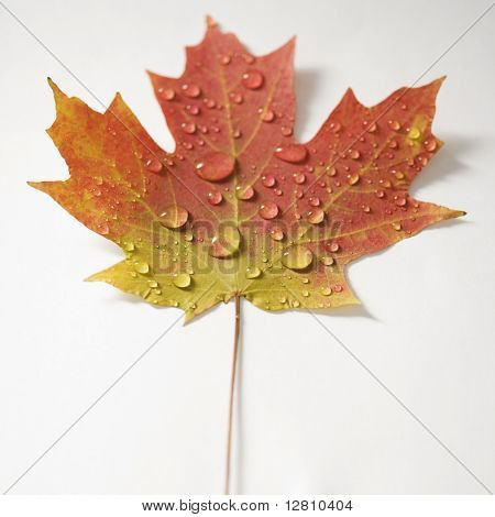 Sugar Maple leaf  in Fall color sprinkled with water droplets against white background.