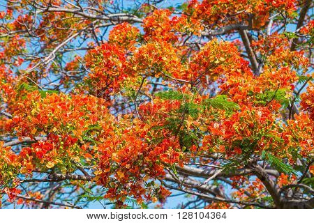 Royal Poinciana tree with beautiful spring colorful.