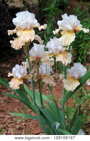 Yellow and White German Bearded Irises in Bloom