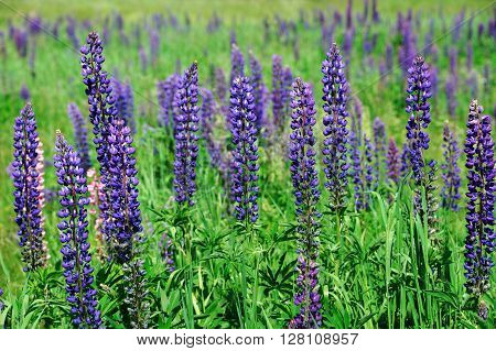 closeup on fresh violet lupine blooming in spring
