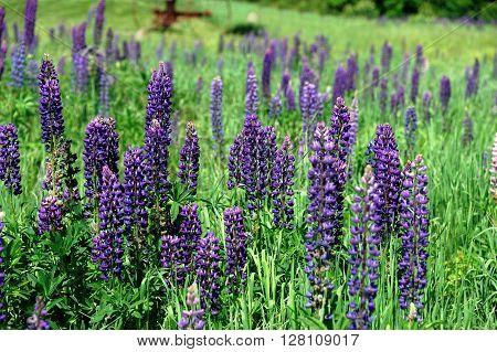close up on fresh lupine blooming in spring