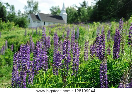 fresh lupine blooming in spring in front of church