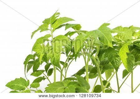 Detail on Leaves Tomatoes Seedling Plant isolated on a White Background