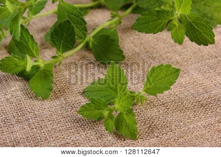 Fresh green lemon balm on jute canvas sedative herbs concept for healthy nutrition and herbalism