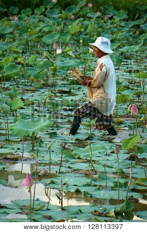 Vietnamese Farmer Crop Lotus Flower