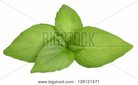 fresh green basil top leaves isolated on white background closeup. Seasoning aromatic herb basil