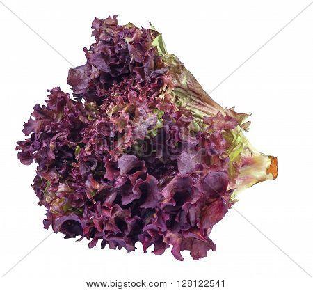 sheaf of purple lettuce isolate. Fresh vegetable salad Lollo Rosso