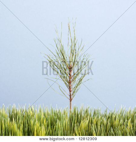Tiny pine sapling growing in strip of artificial green grass against blue background.
