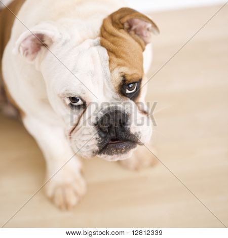 English Bulldog sitting on wood floor looking up at viewer.