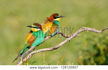 Couple Of Bee-eaters On Leafless Branch
