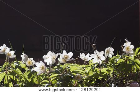 some wood anemones against a dark background