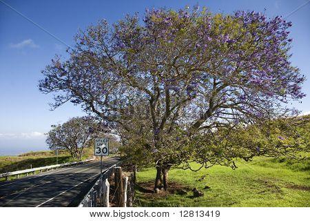 Road with Jacaranda tree blooming with purple flowers in Maui, Hawaii.
