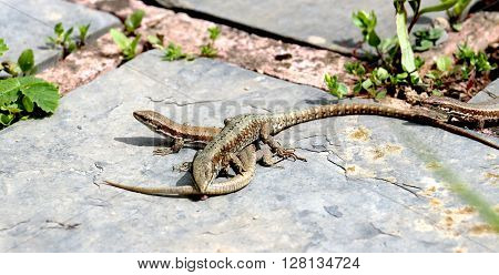 picture of lizard eat tail to another.survival concept