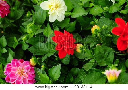Dahlia flower in red, yellow, pink, summer garden - expresses dignity and elegance