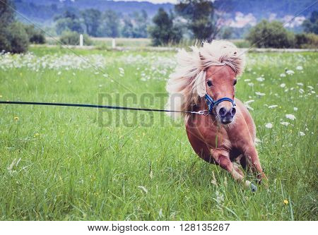 Pony Horse On A Leash Is Galloping On The Meadow