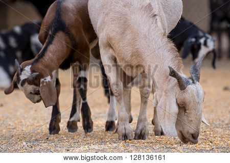 Multiple goats eating corn at a farm