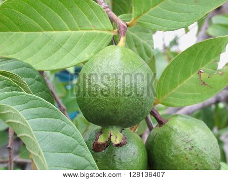 A young guava fruit on tree in garden (Psidium guajava)