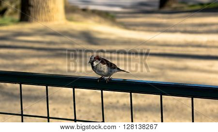 Cuddly red feathered bird sitting on the fence