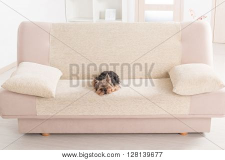 Yorkshire terrier on a sofa at home