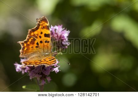 a comma butterfly of the polygonia family